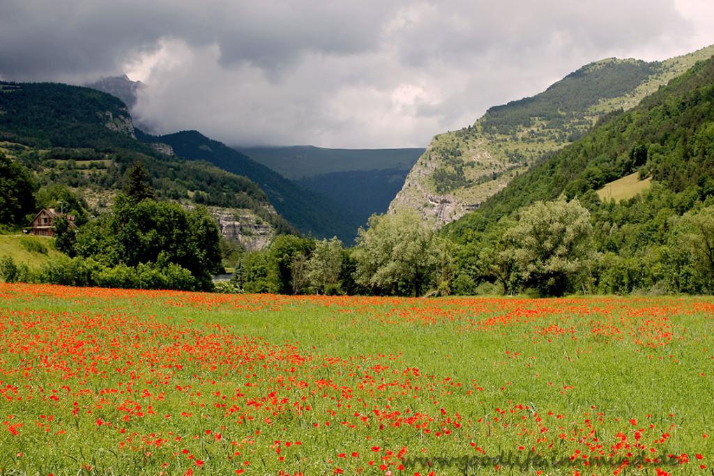 Mohnfeld France