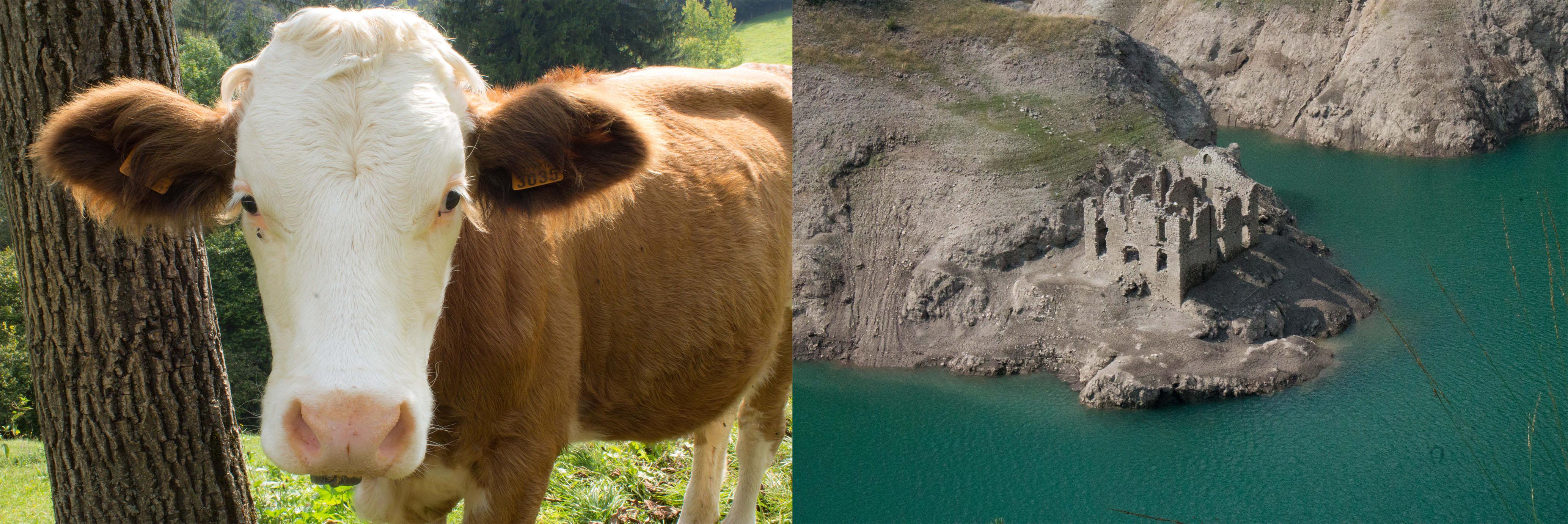 Kuh und Stadt