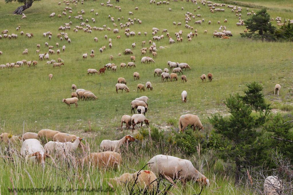Schafe Rhone