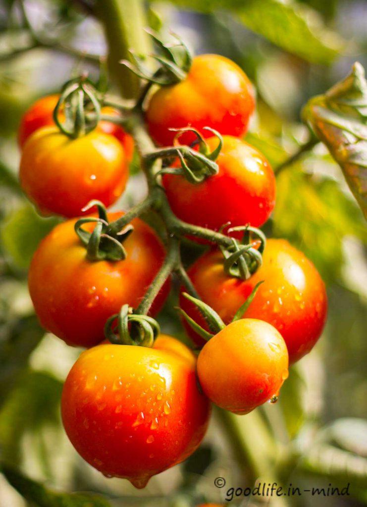 purer-Tomatengenuss